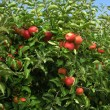 Stock Photo: Apples in Orchard