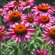 Coneflower Echinacea - Stock Photo
