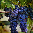 Royalty-Free Stock Photo: Merlot Grapes HDR