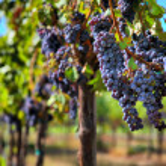 Merlot druiven in wijngaard — Stockfoto