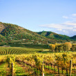 Autumn Vineyard - Stockfoto