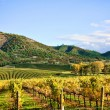 Stock Photo: Autumn Vineyard