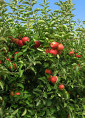 Apples in the Orchard — Stock Photo