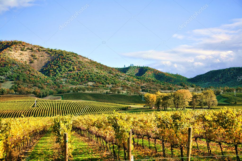 Autumn Vineyard - Rows of Grapevines in Fall  Stock Photo #2659648