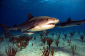 Tiger shark in the Bahamas — Stock Photo