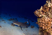 White Tipped Reef Shark — Stock Photo