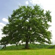 Oak on green hill - Stock Photo