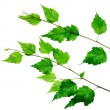 Green branch — Stock Photo