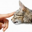 Young mixed-bread cat human hand — Stock Photo