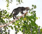 Gri kedi üzerinde ince huş ağacı dalı kesmek — Stok fotoğraf