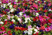 Petunia flower field — Stock Photo
