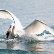 Stock Photo: White Swan in the water 6