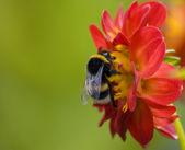 Bumblebee1 — 图库照片