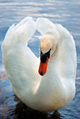 White Swan2 — Stock Photo