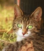 Green-eyed cat 3 — Stock Photo