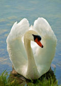 White Swan 4 — Stock Photo