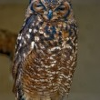 Stock Photo: Wise owl1