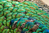 Peacock feathers1 — Stock Photo