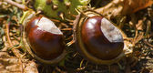 Autumn chestnuts2 — Stock Photo