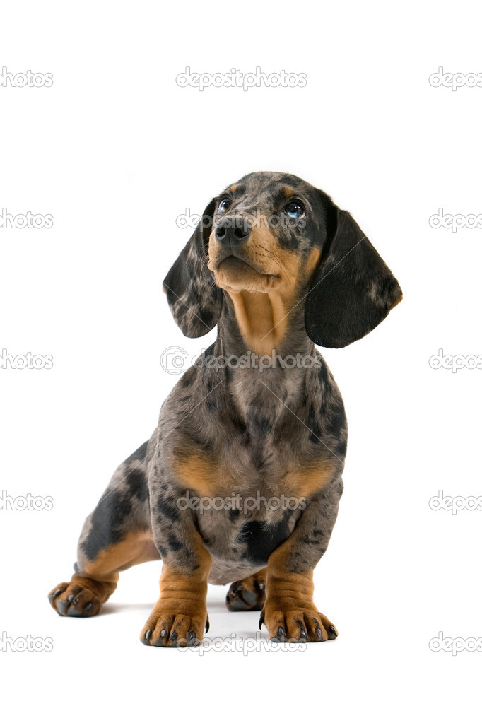 Dachshund on white background  Stock Photo #2482484