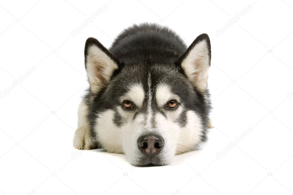 Alaska Malamute dog isolated on a white background — Stock Photo #2482489