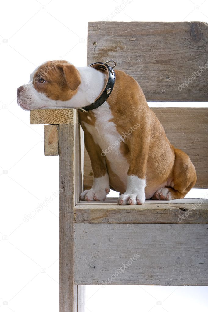 Renaissance Bulldog dog isolated on a white background.  — Stock Photo #2482503