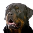 Head of a rottweiler — Stock Photo #2532959