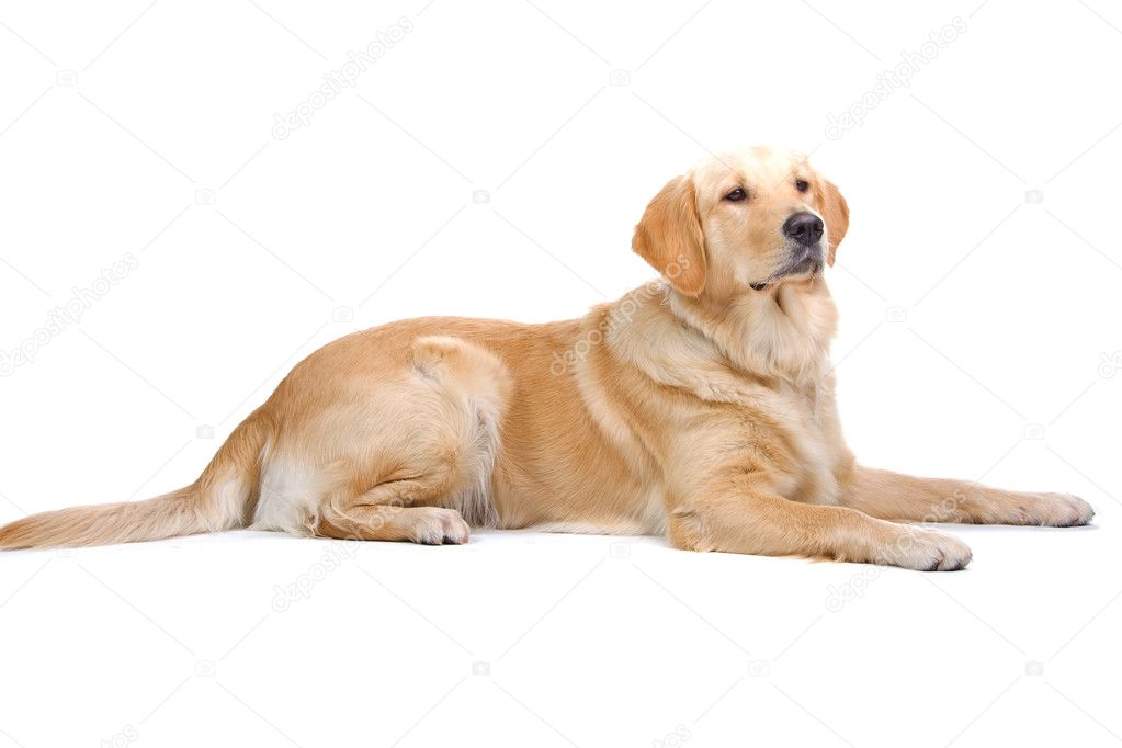 Side view of a golden retriever dog isolated on a white background  Stock Photo #2533293