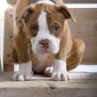 Stock Photo: Sad puppy boxer