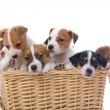 Group of jack russel terrier puppies — Stock Photo