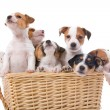 Group of jack russel terrier puppies - Stock Photo