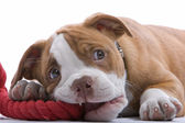 Puppy boxer — Stock Photo