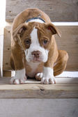 Sad puppy boxer — Stock Photo