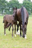 Een merrie en haar baby — Stockfoto