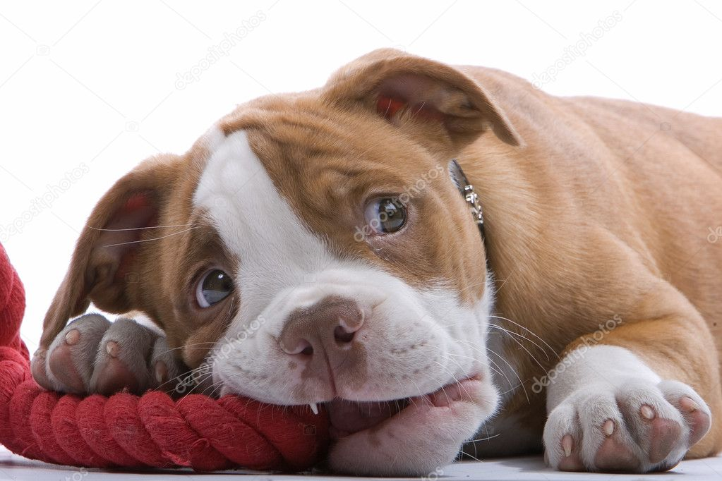  Boxer puppies lying on his belly, biting a red rope and looking on up  Stock Photo #2583273
