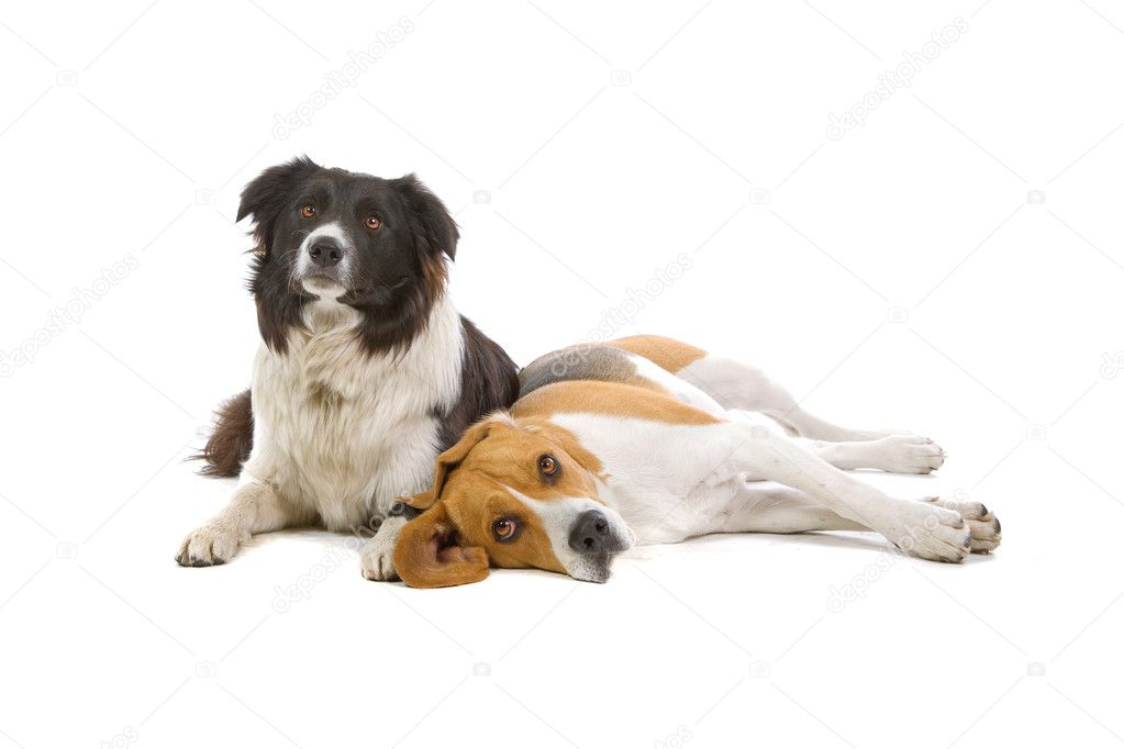 Front view of a Beagle dog and a border collie dog resting,isolated on a white background  Stock Photo #2585318
