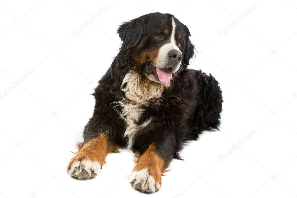 berner sennenhund billeder