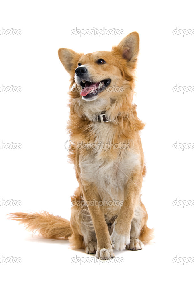 Cake Mix Dogs Breed