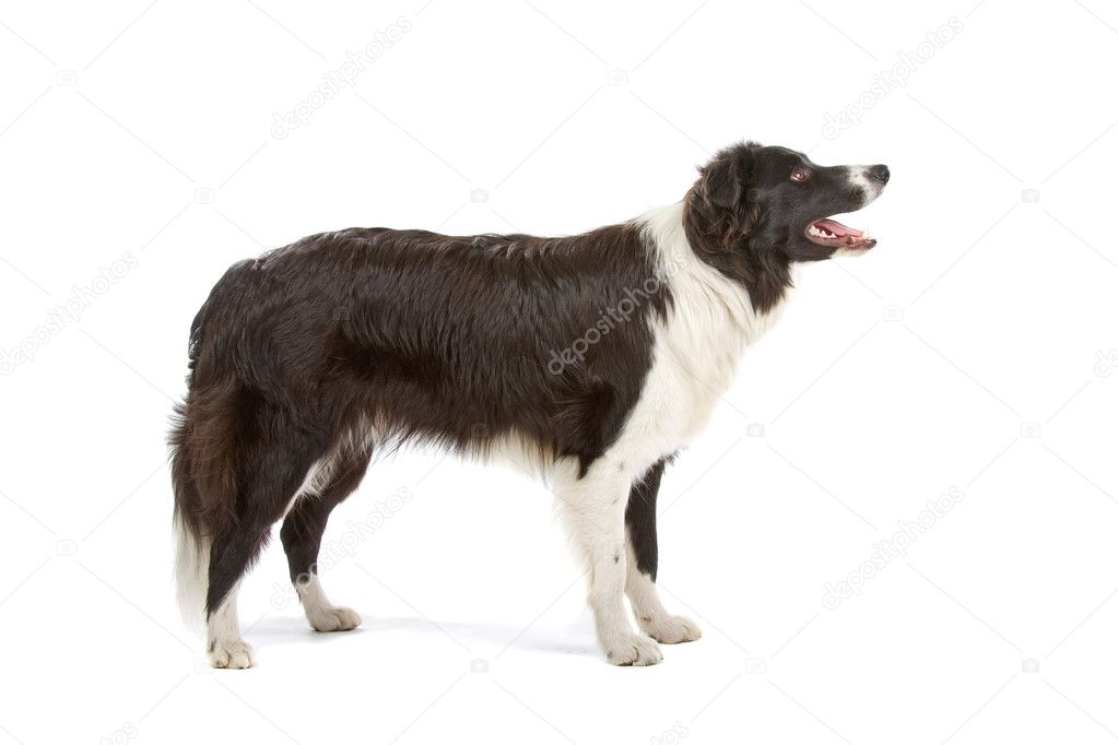 Side view of a Black and white border collie  with the mouth open, isolated on a white background — Stock Photo #2585853