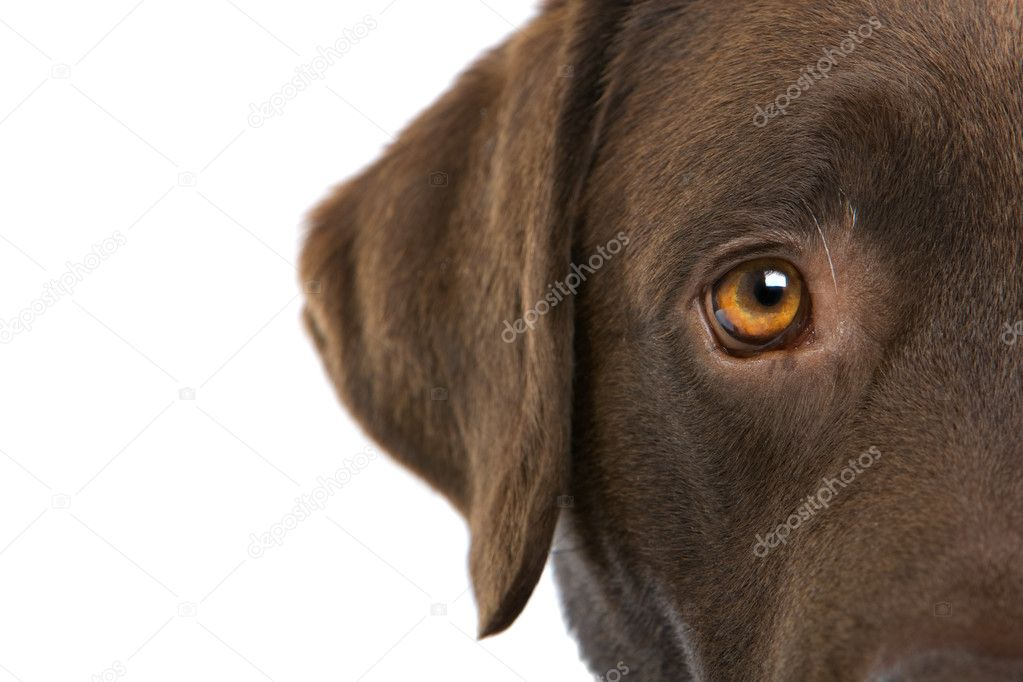 Half of the head of a  Chocolate Labrador retriever dog isolated on a white background — Stock Photo #2586199