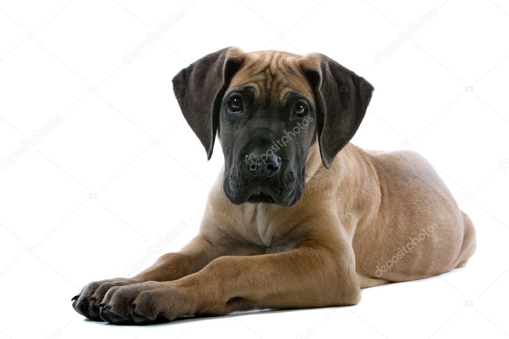 Puppies Great Dane lying on floor looking at camera — Stock Photo #2590932