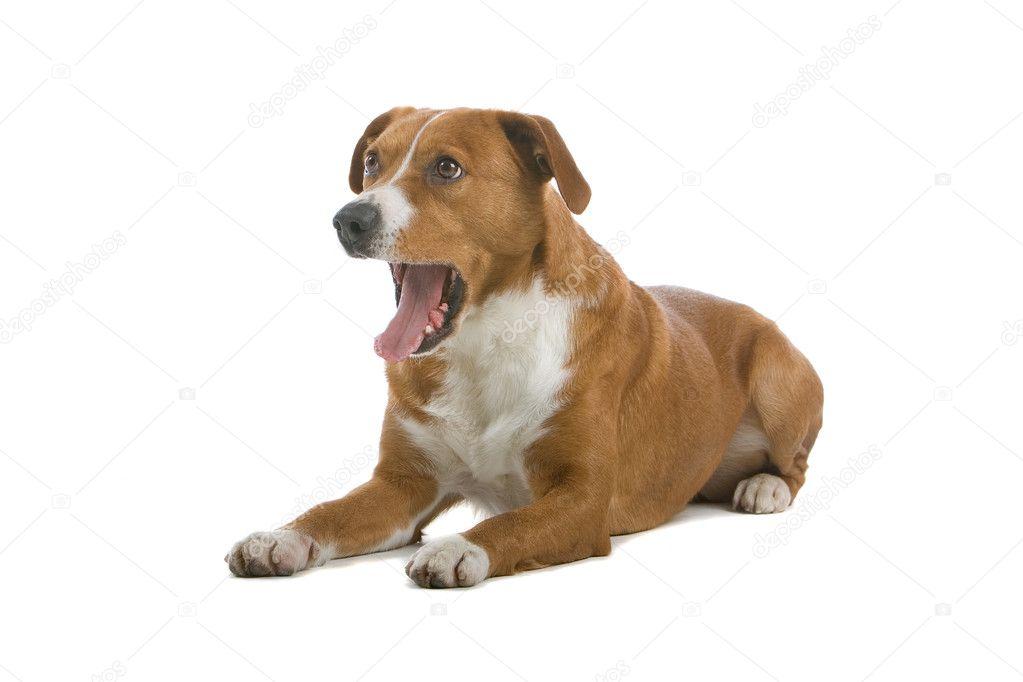 Austrian Pinscher dog - Stock Image