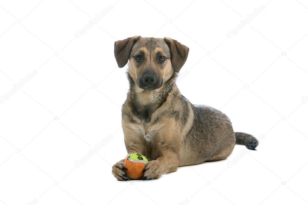 Mixed breed Austrian Pinscher dog - Stock Image