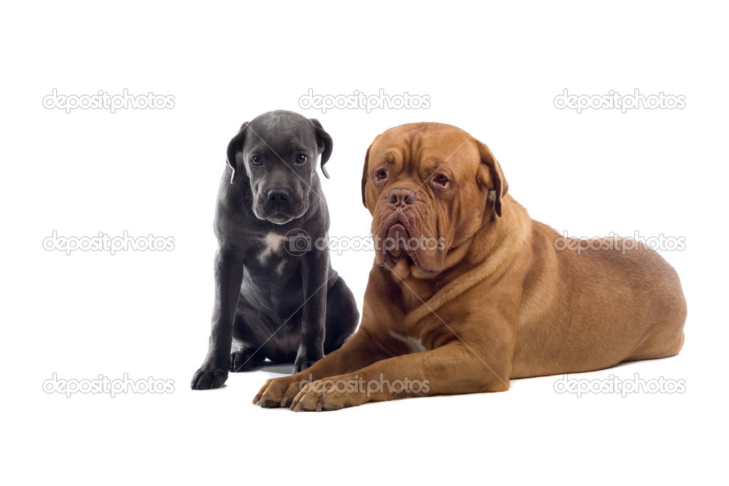 French Mastiff dog and a Cane Corso pup isolated on a white background — Stock Photo #2591999