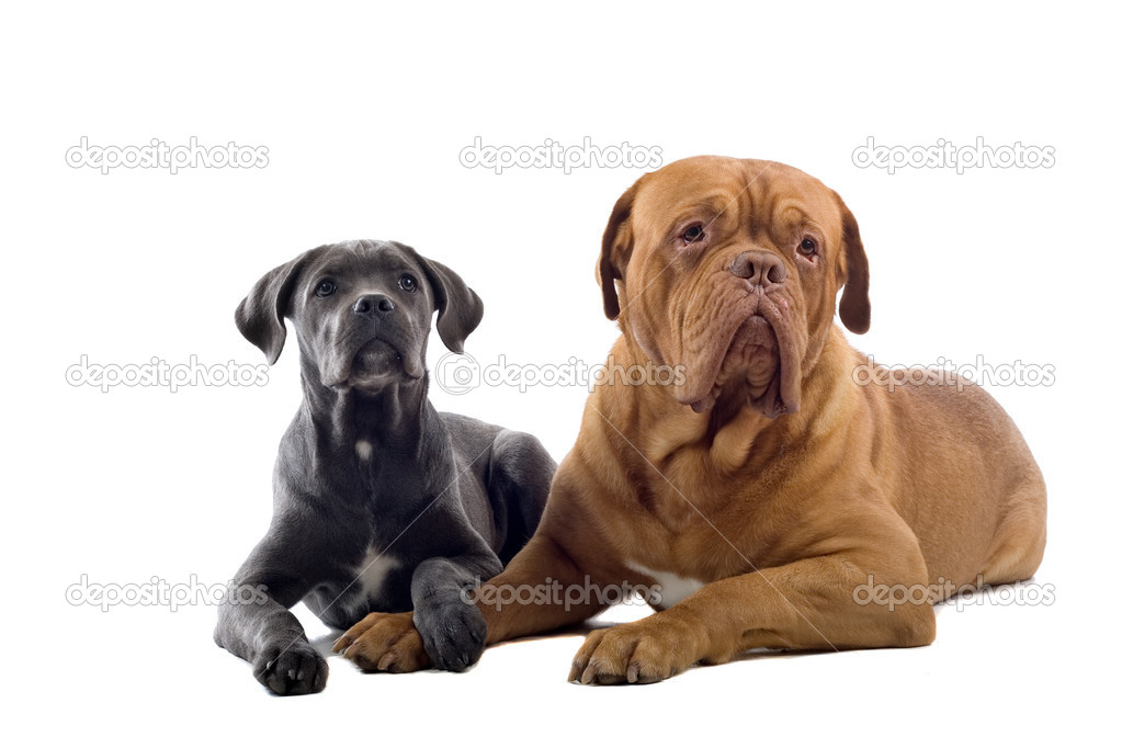 French Mastiff dog and a Cane Corso pup isolated on a white background  Stock Photo #2592066
