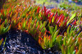 Red and Green Ice Plant on Bodega Coast — Stock Photo
