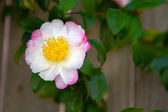 White Pink Camellia — Stock Photo