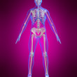 Human skeleton — Stock Photo