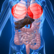 Highlighted lung — Stock Photo