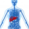 Highlighted liver — Stock Photo
